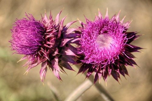 Thistle Couple