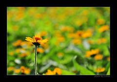 yellow flowers under the sun (e.nhan) Tags: flowers light flower art nature yellow closeup daisies nikon colorful colours dof bokeh arts daisy backlighting d90 enhan