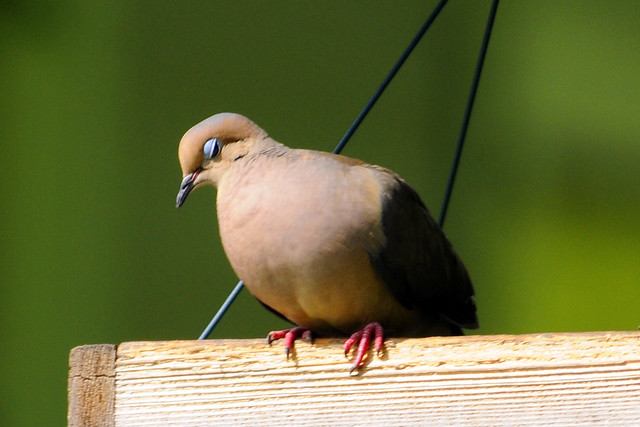 sleepy mourning dove