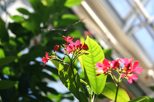 ButterflyPavilion15-butterfly
