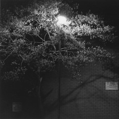 blossom (elin*) Tags: bw print blossom grain olympus om10 nighttime processing push hp5 cropped ilford