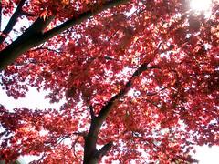 Divine (Lisa/Anders - Ninja Transvestit Danmark) Tags: light red over leafs treetop exposes redleafs