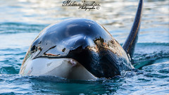 surface (orcamel30) Tags: orca orque moana nikon 55300 d7100 surface marineland biot antibes