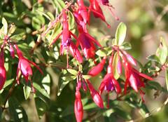 5-IMG_5954 (hemingwayfoto) Tags: berggartenhannover blhen blte blume fuchsie garten natur park pflanze
