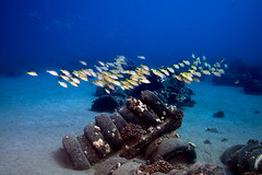 FLA-161001-ND800-8195 (ferlopez) Tags: bluestrippedsnapper fish lutjanuskasmira marinelife snapper taape underwaterphotography wailea mauihawaii usa