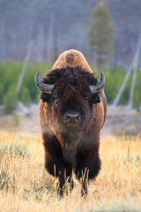 Bison portrait (Julie Lubick) Tags: park morning travel autumn red wild portrait brown cold west tree male fall nature ecology beautiful weather animal vertical danger mammal nose golden cool intense dangerous healthy buffalo montana eyecontact quiet mt symbol outdoor wildlife air breath scenic large icon calm bull steam national massive breeding western huge yellowstonenationalpark environment yellowstone serene wyoming wilderness bison behavior habitat majestic ungulate powerful iconic imposing breathing trourism wy rut headon megafauna