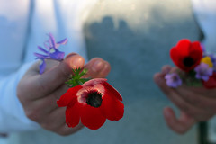 March Twenty-Third. (redaleka) Tags: flowers red nature colors girl spring hands giving poppy movingon threehundredsixty marchtwentythird