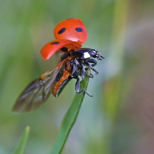 Coccinelle (Coccinella septempunctata) Seven-spot ladybird