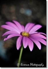 Simple and pretty (Eirerun) Tags: pink flower macro nature closeup petals stem flora focus dof angle bokeh daisy