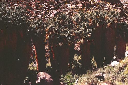 Palm Oasis, Anza Borrego
