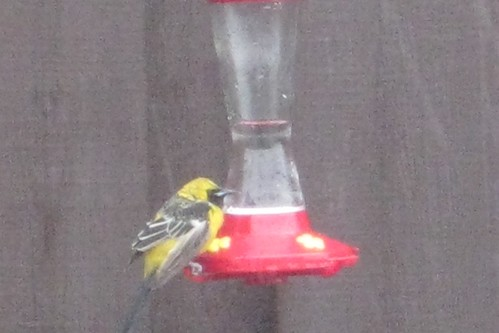 1hooded oriole beth redwood city