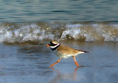 Ringed Plover Strut (RobIreland) Tags: ireland sea summer birds sand wildlife arts waders plover ringed robireland