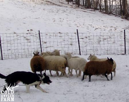 sheepdog[1]