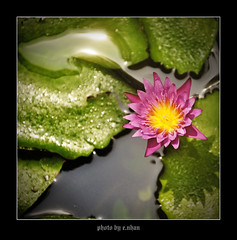 water lily flower #3 [explored] (e.nhan) Tags: pink flowers light flower art nature water closeup landscape colorful colours dof lily bokeh arts backlighting enhan