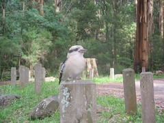 Kookaburra - Olinda Falls Picnic Ground Photo