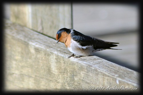 Curious Swallow