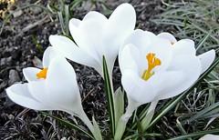 Krokusse (fleckchen) Tags: flowers flower spring natur pflanzen blumen blooms weiss garten springtime krokus frhling blten krokusse frhrjahr