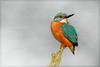 Close to home.. (hvhe1) Tags: holland bird water animal river stream beek wildlife thenetherlands kingfisher perch vogel alcedoatthis ijsvogel tonden specanimal hvhe1 hennievanheerden avianexcellence