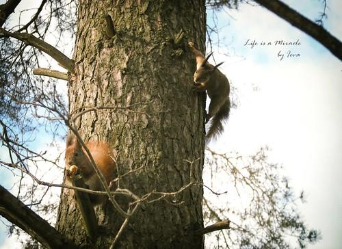 Voveryčių priešpiečiai/ Squirrel's lunch