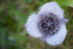 Calochortus tolmiei (Eric Hunt.) Tags: california flower fuzzy marincounty ptreyesnationalseashore liliaceae calochortus pussyears calochortustolmiei geophyte