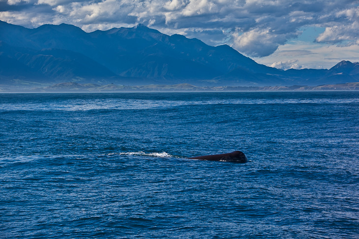 whale-watching-kaikoura-new-zealand