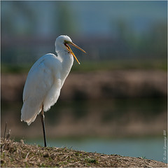 _DSC6764 (Lino Sgaravizzi ) Tags: fauna nikon natura uccelli valtiberina d3x aironemaggiore mygearandme mygearandmepremium mygearandmebronze mygearandmesilver mygearandmegold