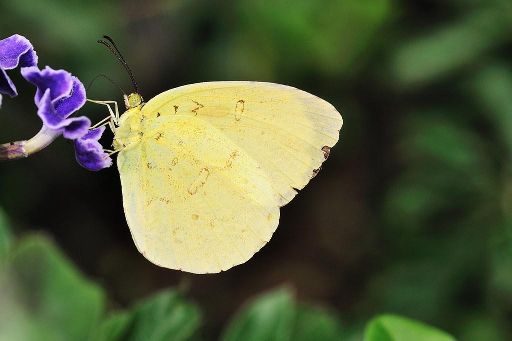 台灣黃蝶 Eurema blanda arsakia