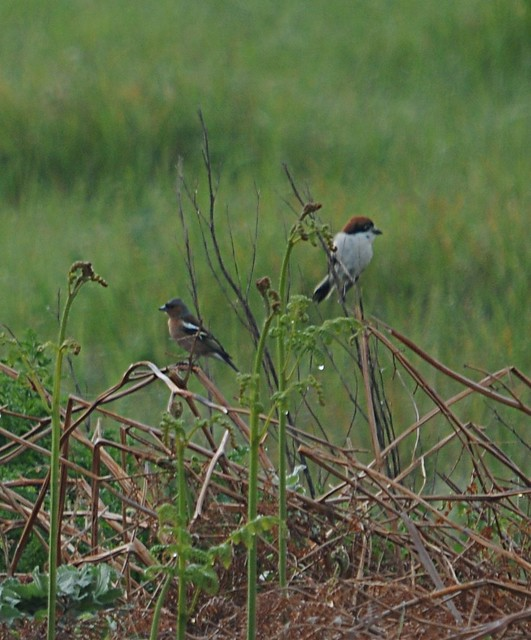 woodchat shrike2