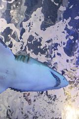 under a shark (anotheravenue) Tags: water aquarium shark tank teeth newport newportaquarium gills newportonthelevee