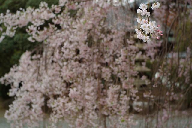 満開直前のしだれ桜