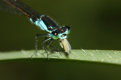 Common Bluetail Damselfly (R_P_F) Tags: macro insect eating nsw damselfly odonata warriewood commonbluetail irrawongreserve