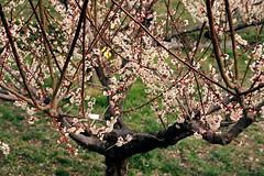 2011 Togokusan Ume with Ai-S Nikkor ED 300mm F4.5-3 (yuchan's point of view) Tags: flower japan plum ume aichi 梅 東谷山フルーツパーク negativefilm ウメ うめ nikonf4s kodakektar100 nikonainikkored300mmf45s togokusanfruitspark