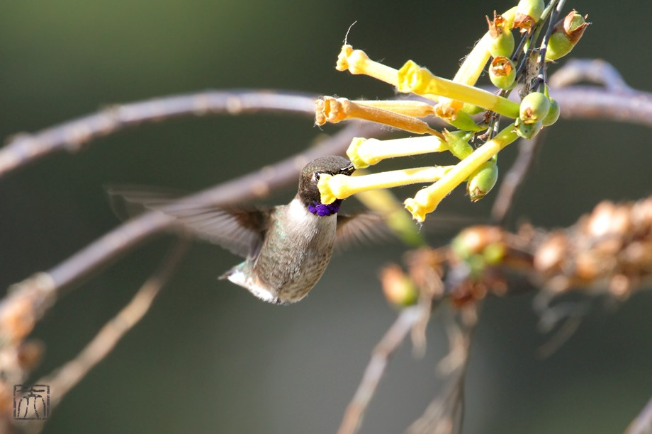 Black Chinned Hummingbird f042011-2