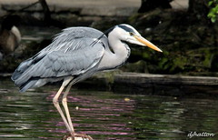 Gone Fishin' , Grey Heron,ardea cinerea . Explored (claylaner) Tags: park lake water grey spring cheshire country feathers ardea april etherow greyheron cinerea compstall canon60d mygearandme