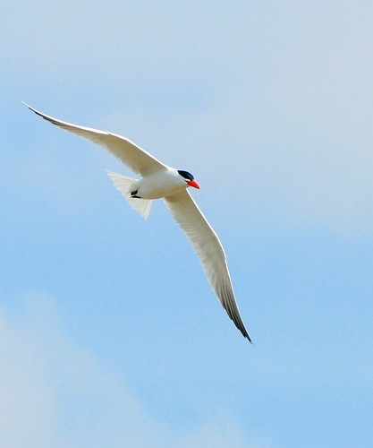 Tern (not sure which kind)