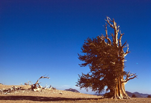 The Inyo National Forest is home to many bristlecone pines, thought to be the oldest living organisms on Earth.