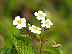 Wild Strawberry Blossoms (Andy von der Wurm) Tags: wild plant macro closeup germany deutschland strawberry flora blossoms pflanze alemania makro wildflower allemagne nahaufnahme blueten blten erdbeeren wildblume wildpflanze hobbyphotograph andreasfucke