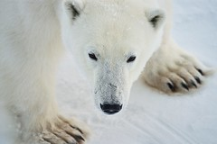 PICT4828 (Polarnix) Tags: travel snow ice animals norway no wildlife svalbard polarbear spitsbergen