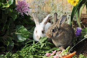A white and a brown rabbit