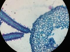 coprinus mushroom 4 (amagfx) Tags: mushroom yeast cells budding coprinus sporangia aspergillus rhizopus saccharomyces conidiophores