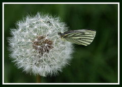 Butterfly on dandelion (HEFFO1) Tags: colour canon butterfly spring dandelion april
