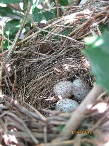 4/24/11:  There's a bird nest in the holly bush at grandma's house