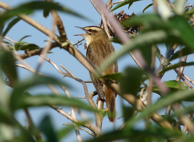24230 - Sedge Warbler, Radipole Lake