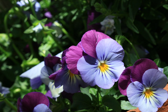 oh...purple pansies