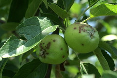 Apple scab lesions on young apple fruit. Photo courtesy Alan R. Biggs, West Virginia Univ.