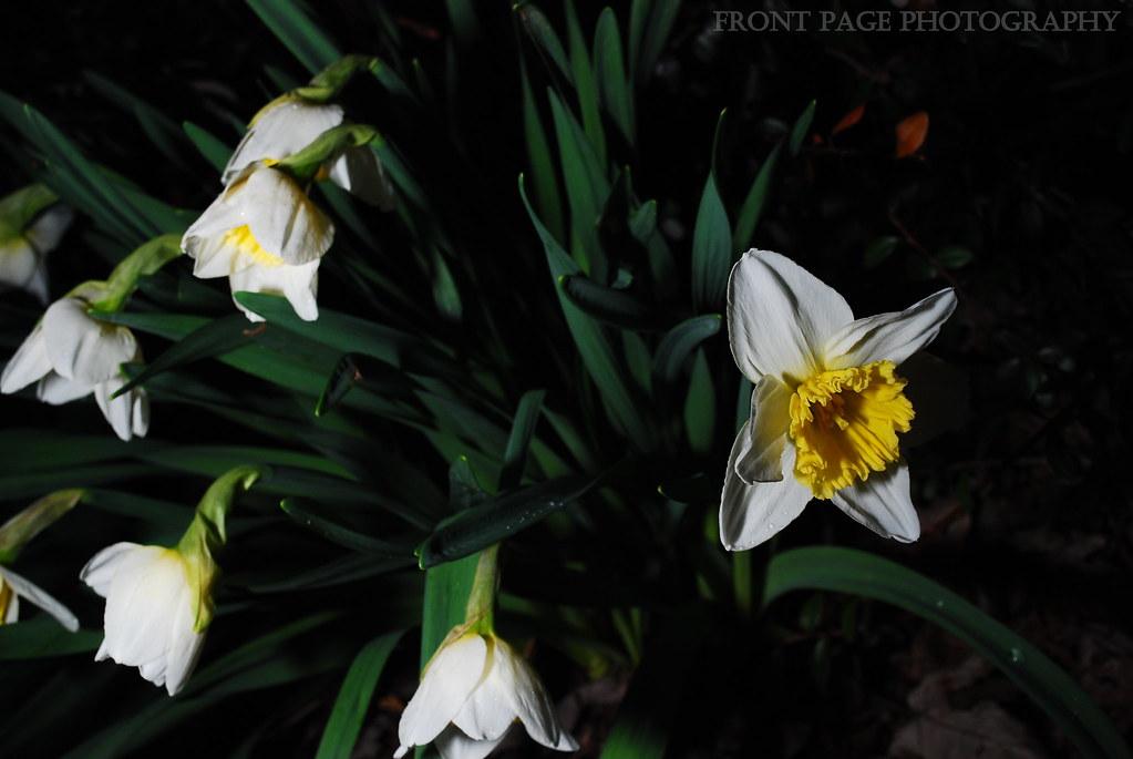 Daffodil III