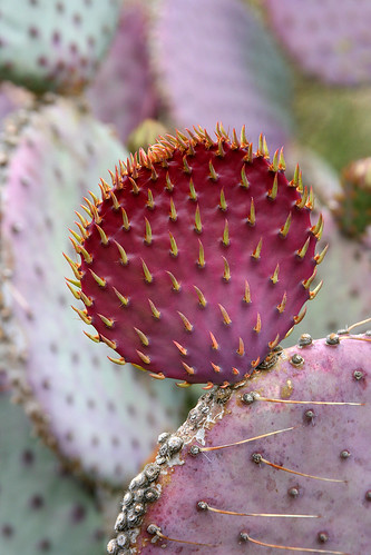 huntington purple prickly