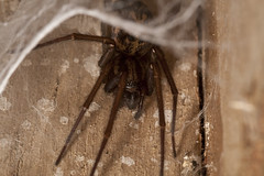 "House Spider • <a style=""font-size:0.8em;"" href=""http://www.flickr.com/photos/57024565@N00/5665339449/"" target=""_blank"">View on Flickr</a>"