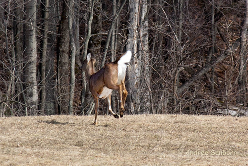 White-tailed deer (10 of 15).jpg