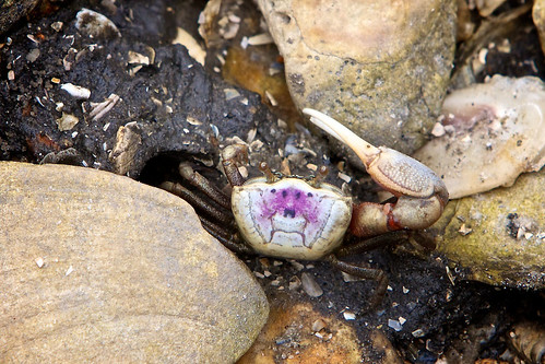 Fiddler Crab Outside Home